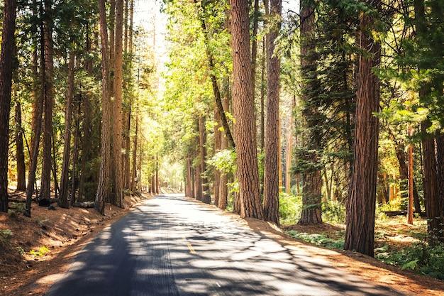 Zimozielony las sosnowy w parku narodowym yosemite