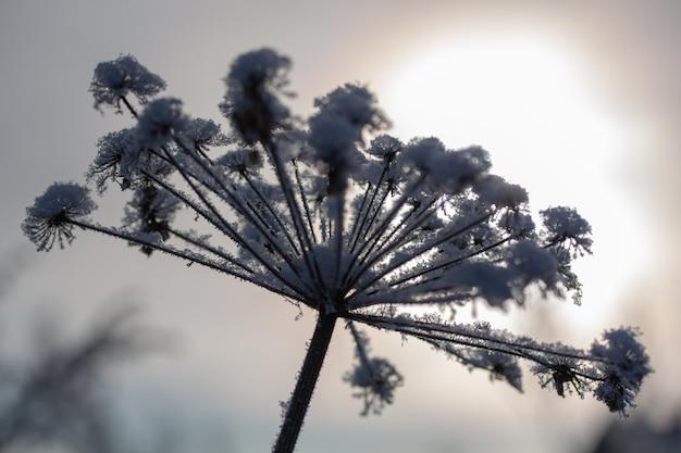 Zimy tło, ranku mróz na trawie w lodzie