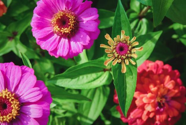Zinnia elegans lub dalia kwitnąca cynia kwitnąca w letnim ogrodzie