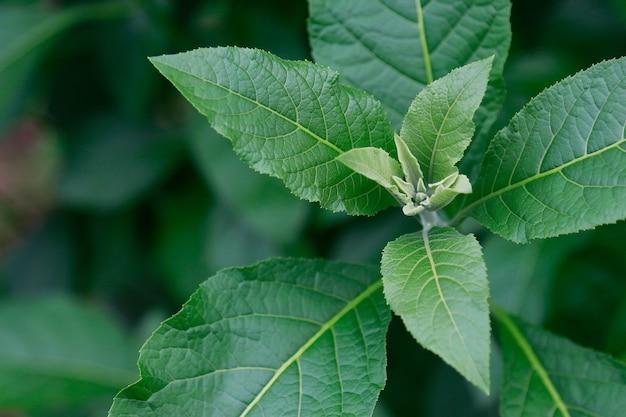 Ziołowy liść w ogródzie dla zdrowego łasowania stylu życia