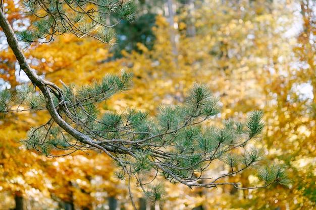 Zjadły zielone igły na gałęziach