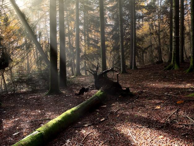 Złamane drzewo na ziemi w lesie ze słońcem świecącym przez gałęzie