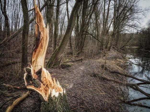 Złamane drzewo w lesie. konsekwencje burzowego wiatru. koncepcja zmiany klimatu.