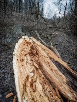 Złamane drzewo w lesie. konsekwencje burzowego wiatru.