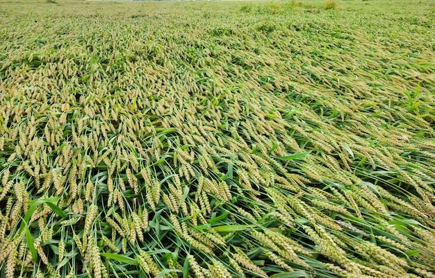 Złamany kłos niedojrzałej zielonej pszenicy. zbliżenie fotografii rolnictwa. wiosna lub lato w roku