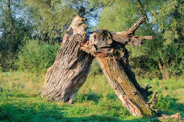 Złamany pień dużego suchego drzewa na tle zielonych krzewów i drzew w słoneczny jesienny poranek