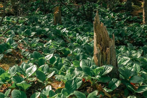 Złamany pień otoczony górską rośliną z dużymi zielonymi liśćmi w północnym lesie