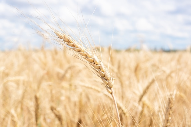 Złocisty pszenicznego pola niebieskie niebo