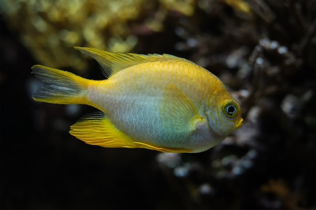 Złota damselfish ryba pod wodą w morzu