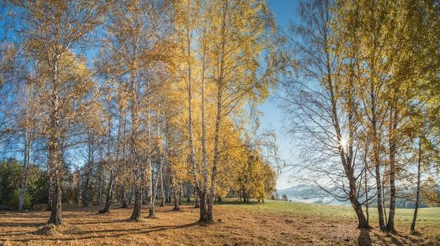 Złota jesień, indyjskie lato. promienie słoneczne przez gałęzie. brzozowy las i malowniczy brzeg.