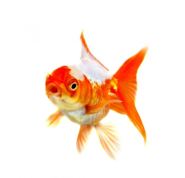Złota ryba izolacji na białym tle