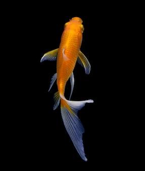Złota ryba odizolowywająca na czerni