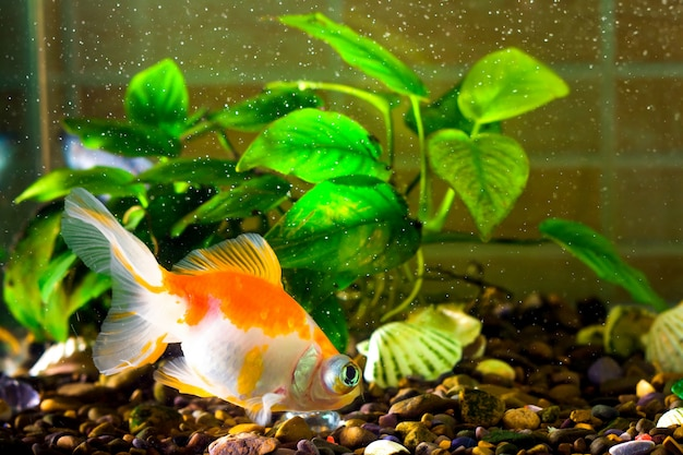 Złota rybka akwariowa pływa w wodzie, a za nią zielone rośliny
