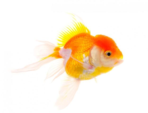 Złota rybka. izolacja na białym tle