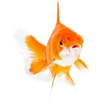 Złota rybka. izolacja na białym
