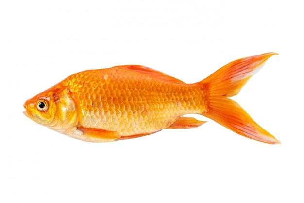 Złota rybka na białym tle na białym tle.