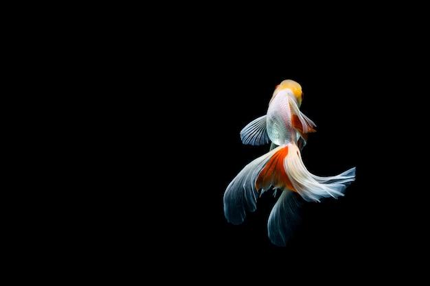 Złota rybka na białym tle na ciemnym czarnym tle