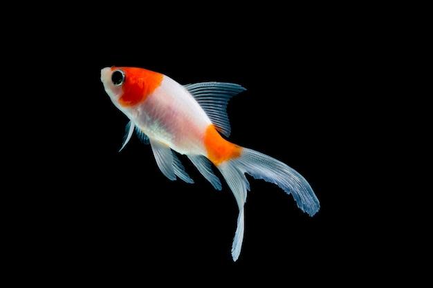 Złota rybka na białym tle na czarnym tle
