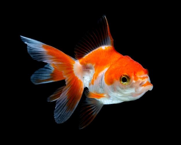 Złota rybka na białym tle w ciemności