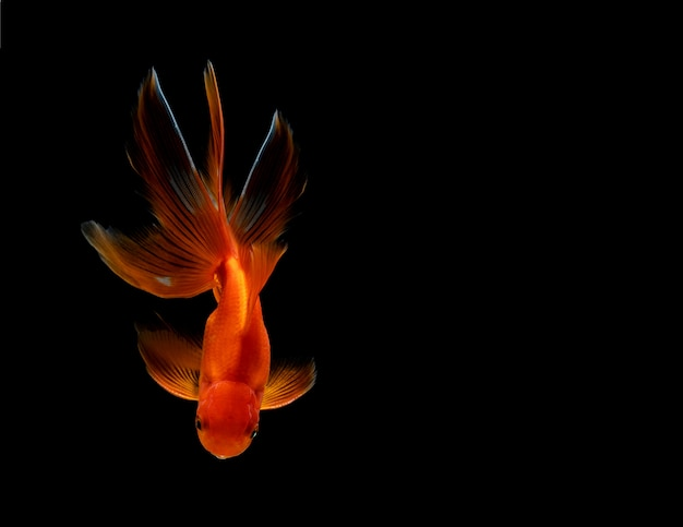 Złota rybka na białym tle