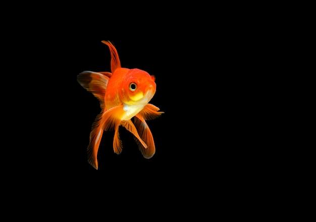 Złota rybka na ciemnym tle czarnej ściany