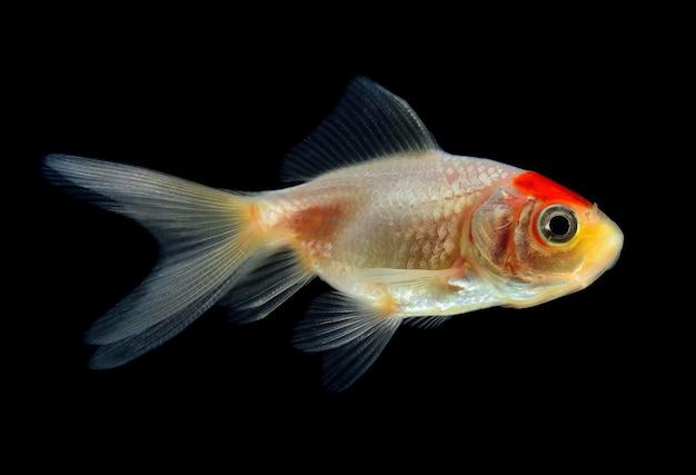 Złota rybka na czarnej wodzie