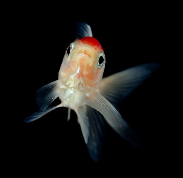 Złota rybka na czarnym tle