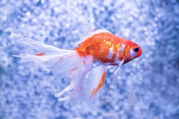Złota rybka na tle pęcherzyków powietrza
