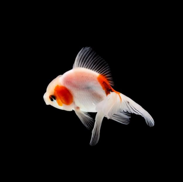 Złota rybka odizolowywająca na czarnym tle