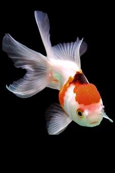 Złota rybka orando na czarno