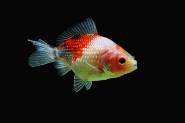 Złota rybka perl z czarnym tłem