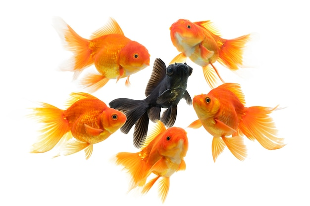 Złota rybka pływająca na białym tle