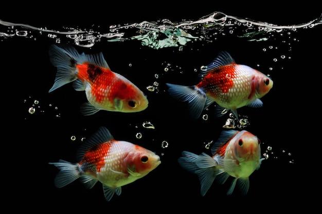 Złota rybka pływająca na czarnym tle widok z boku złotej rybki
