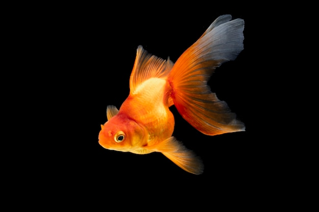 Złota rybka pływająca na czarnym tle