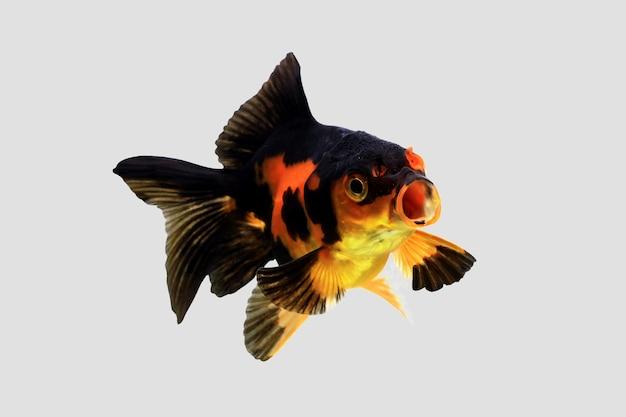 Złota rybka pływająca na szarym tle