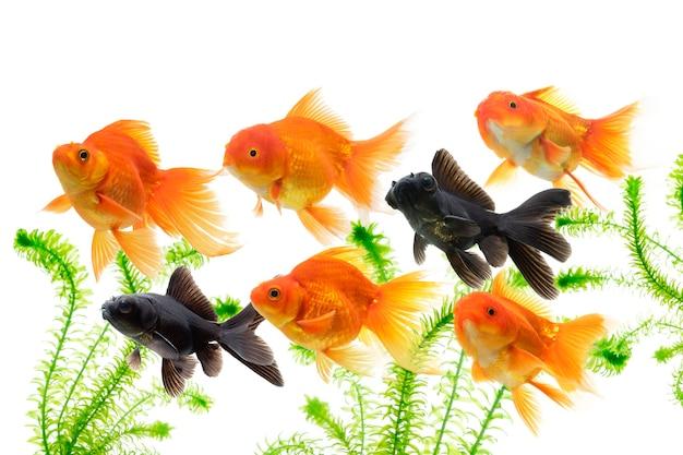 Złota rybka pływająca pod wodą na białym tle