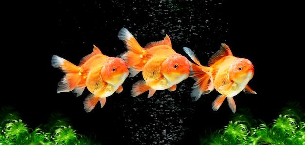 Złota rybka pływająca pod wodą