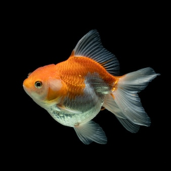 Złota rybka srebrna ryba na czarnym tle