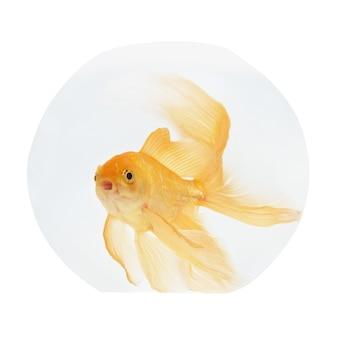 Złota rybka w akwarium na białym tle