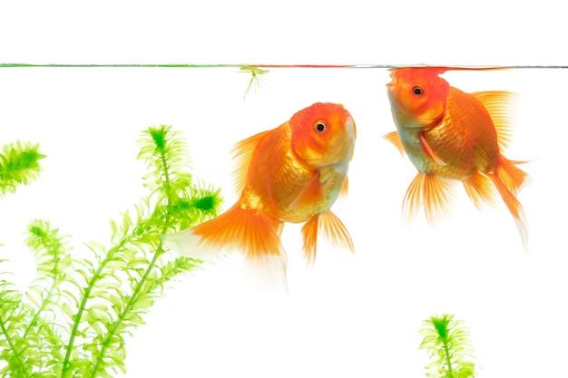 Złota rybka w akwarium z zielonymi roślinami wodnymi na białym tle