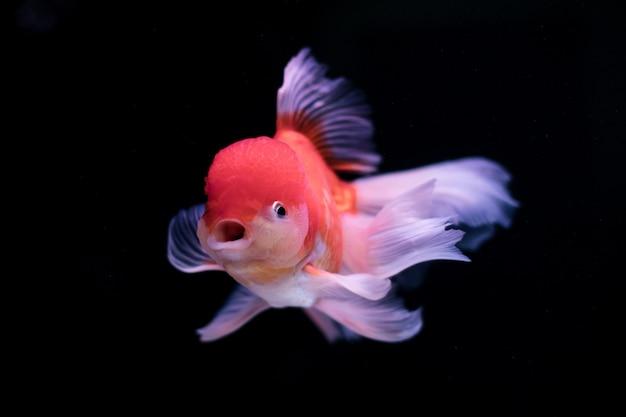 Złota rybka w akwarium