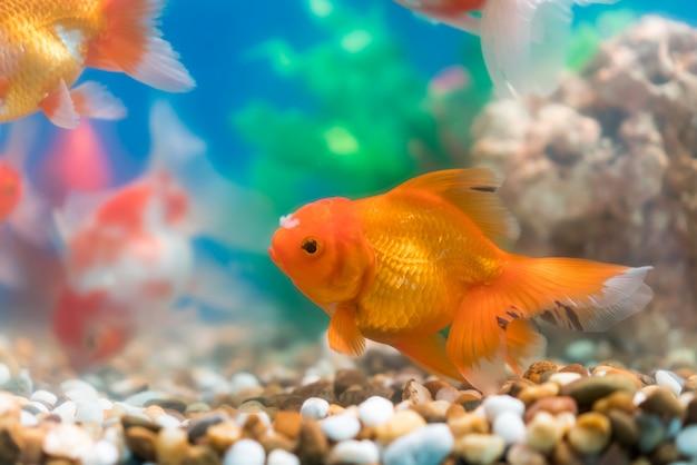 Złota rybka w słodkowodnym akwarium z zielonym pięknym zasadzonym tropikalnym