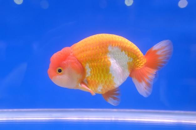 Złota rybka w wodzie