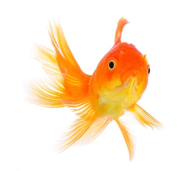 Złotą rybkę na białej ścianie