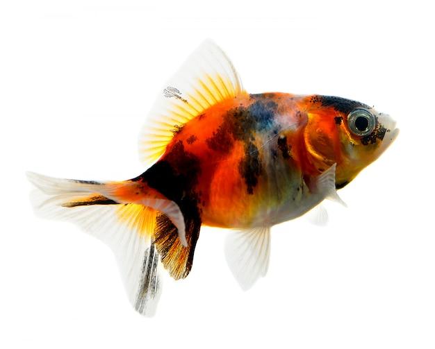 Złotą rybkę na białym tle