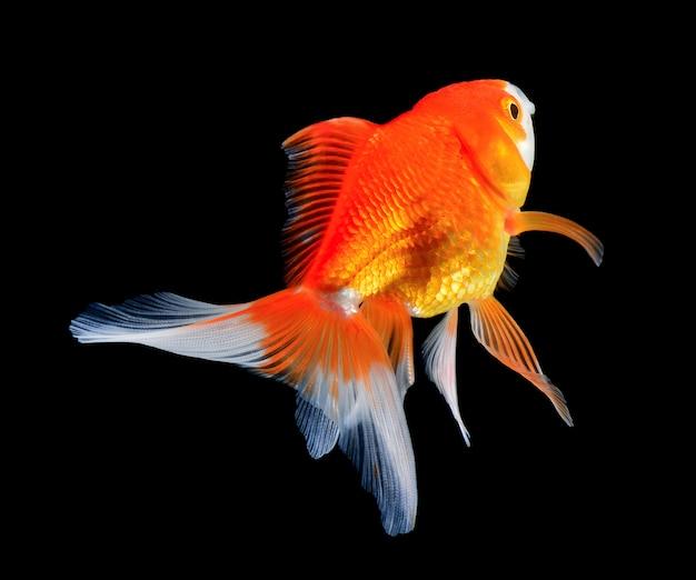 Złotą rybkę na czarnej ścianie