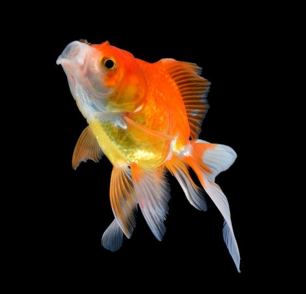 Złotą rybkę na czarno