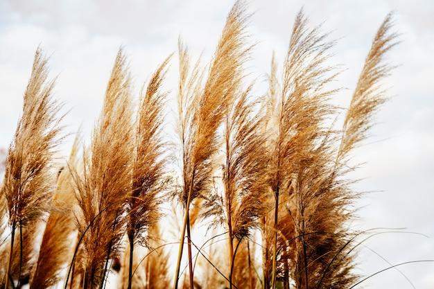 Złota sucha trzcina lub trawa pampasowa na tle dziennego nieba. minimalistyczna koncepcja. modny złoty kolor