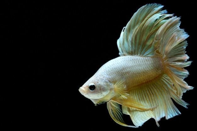 Złota walcząca ryba.