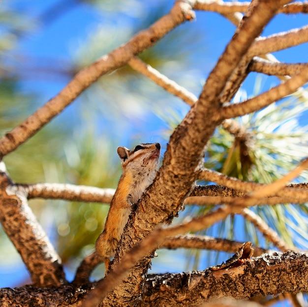 Złota wiewiórka mielona na sośnie na amerykańskim zachodzie